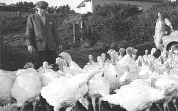 Turkeys being farmed at Rodda's